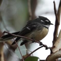 Rhipidura albiscapa (Grey Fantail) at Wodonga - 24 Mar 2021 by WingsToWander
