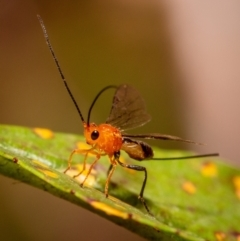 Unidentified Parasitic wasp (numerous families) (TBC) at Hackett, ACT - 24 Mar 2021 by Boagshoags