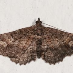 Pasiphilodes testulata (Pome Looper Moth) at Melba, ACT - 19 Mar 2021 by kasiaaus
