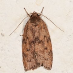 Garrha (genus) (A concealer moth) at Melba, ACT - 19 Mar 2021 by kasiaaus