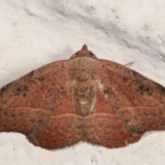 Sophta concavata (Varied Hookwing) at Melba, ACT - 19 Mar 2021 by kasiaaus