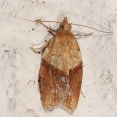 Epiphyas postvittana (Light Brown Apple Moth) at Melba, ACT - 19 Mar 2021 by kasiaaus