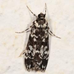 Scoparia exhibitalis (A Crambid moth) at Melba, ACT - 19 Mar 2021 by kasiaaus