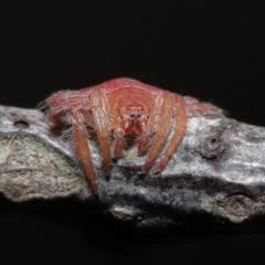 Dolophones sp. (genus) (Wrap-around spider) at Evatt, ACT - 24 Mar 2021 by TimL