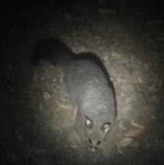 Trichosurus vulpecula (Common Brushtail Possum) at Namadgi National Park - 14 Dec 2019 by Cpiiroinen