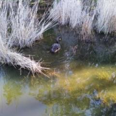 Cygnus atratus (Black Swan) at Tidbinbilla Nature Reserve - 4 Jul 2020 by Cpiiroinen