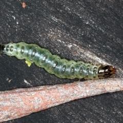 Dichocrocis clytusalis (Kurrajong Bag Moth) at Mount Ainslie - 24 Mar 2021 by jbromilow50