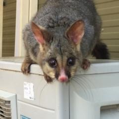 Trichosurus vulpecula (Common Brushtail Possum) at Australian National University - 17 Sep 2020 by Cpiiroinen