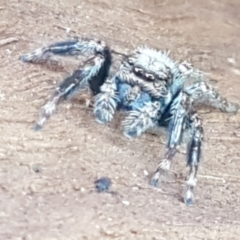 Servaea sp. (genus) (Unidentified Servaea jumping spider) at City Renewal Authority Area - 25 Mar 2021 by tpreston