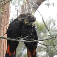 Calyptorhynchus lathami (Glossy Black-Cockatoo) at Mittagong - 24 Mar 2021 by GlossyGal