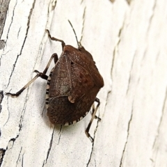 Dictyotus conspicuus (A shield or stink bug) at Crooked Corner, NSW - 24 Mar 2021 by Milly
