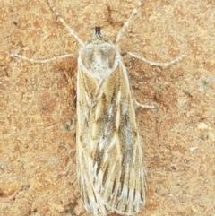 Ciampa arietaria (Forked Pasture-moth) at Lyneham, ACT - 25 Mar 2021 by tpreston