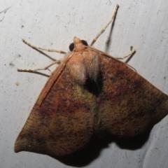 Mnesampela privata (Autumn Gum Moth) at Flynn, ACT - 23 Mar 2021 by Christine