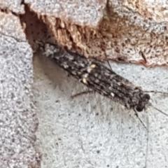 Trichoptera sp. (order) (TBC) at Latham, ACT - 25 Mar 2021 by tpreston
