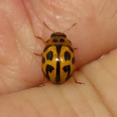 Peltoschema oceanica (Oceanica leaf beetle) at Jerrabomberra, NSW - 25 Mar 2021 by RodDeb