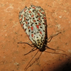Utetheisa pulchelloides (Heliotrope Moth) at Flynn, ACT - 24 Mar 2021 by Christine