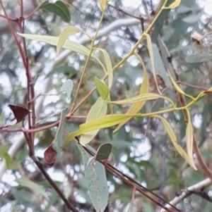 Eucalyptus mannifera at Mount Painter - 19 Mar 2021