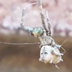 Philoponella congregabilis (Social house spider) at Lyneham, ACT - 26 Mar 2021 by tpreston