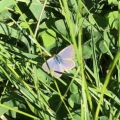 Zizina otis (Common Grass-blue) at Holt, ACT - 25 Mar 2021 by KMcCue