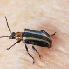 Lema bilineata (Leaf beetle) at Holt, ACT - 26 Mar 2021 by tpreston