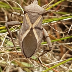 Mictis profana (Crusader bug) at Bass Gardens Park, Griffith - 26 Mar 2021 by SRoss