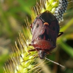 Pentatomidae (family) (Unidentified Shield or Stink bug) at Holt, ACT - 26 Mar 2021 by tpreston