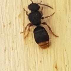 Mutillidae sp. (family) (Unidentified 'velvet ant') at Aranda Bushland - 26 Mar 2021 by tpreston