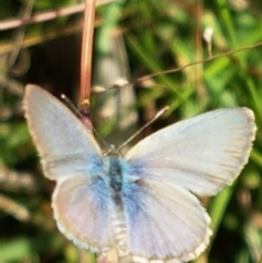 Zizina otis (Common Grass-blue) at Holt, ACT - 26 Mar 2021 by tpreston