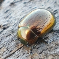 Chrysolina quadrigemina (Greater St Johns Wort beetle) at Aranda Bushland - 26 Mar 2021 by tpreston