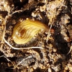 Fletchamia quinquelineata at Aranda Bushland - 26 Mar 2021