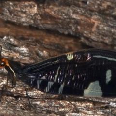 Porismus strigatus (Pied Lacewing) at Majura, ACT - 25 Mar 2021 by jbromilow50