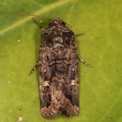 Proteuxoa (genus) (A Noctuid moth) at Melba, ACT - 20 Mar 2021 by kasiaaus