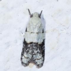 Tracholena sulfurosa (A tortrix moth) at Melba, ACT - 21 Mar 2021 by kasiaaus