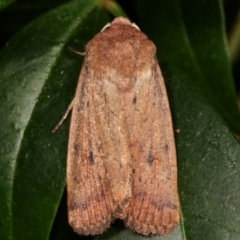 Proteuxoa porphyrescens (A Noctuid moth) at Melba, ACT - 21 Mar 2021 by kasiaaus