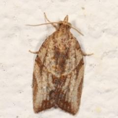 Epiphyas ashworthana (A Tortricid moth) at Melba, ACT - 21 Mar 2021 by kasiaaus