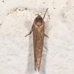 Oenochroa and Artiastis (genera) at Melba, ACT - 21 Mar 2021 by kasiaaus