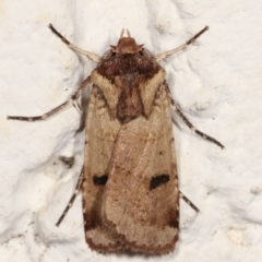 Agrotis porphyricollis (Variable Cutworm) at Melba, ACT - 22 Mar 2021 by kasiaaus