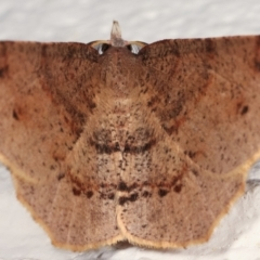 Rhinodia rostraria (Necklace Geometrid) at Melba, ACT - 23 Mar 2021 by kasiaaus