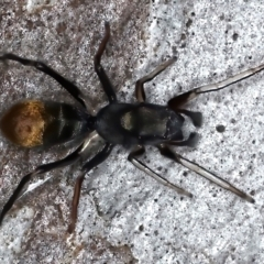 Myrmarachne luctuosa (Polyrachis Ant Mimic Spider) at Majura, ACT - 25 Mar 2021 by jbromilow50