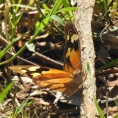 Heteronympha merope (Common Brown) at Tharwa Bridge - 26 Mar 2021 by RodDeb