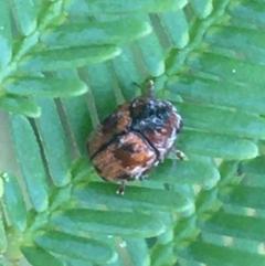 Elaphodes sp. (genus) (Leaf beetle) at Mundoonen Nature Reserve - 26 Mar 2021 by Ned_Johnston