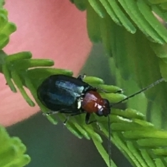 Adoxia benallae (Leaf beetle) at Mundoonen Nature Reserve - 26 Mar 2021 by Ned_Johnston