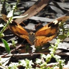 Heteronympha merope (Common Brown) at Gigerline Nature Reserve - 26 Mar 2021 by RodDeb