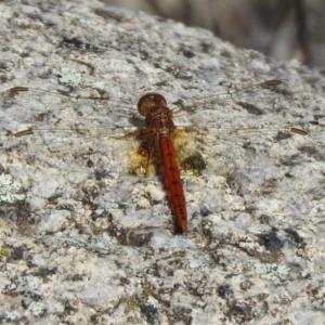 Diplacodes bipunctata at Gigerline Nature Reserve - 26 Mar 2021
