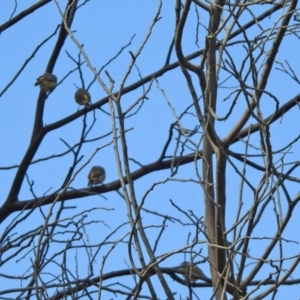 Acanthiza reguloides at Gigerline Nature Reserve - 26 Mar 2021