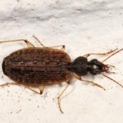 Homethes (genus) (Carab beetle) at Melba, ACT - 22 Mar 2021 by kasiaaus