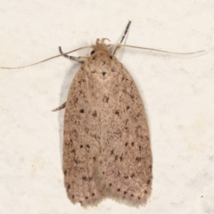 Garrha carnea (A concealer moth) at Melba, ACT - 22 Mar 2021 by kasiaaus
