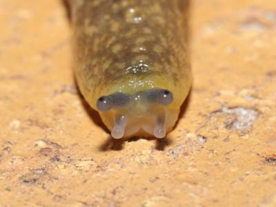 Limacus flavus (Yellow Cellar Slug) at Evatt, ACT - 26 Mar 2021 by TimL