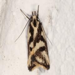 Epithymema incomposita (A concealer moth) at Melba, ACT - 22 Mar 2021 by kasiaaus
