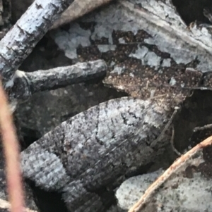 Meritastis lythrodana at Dryandra St Woodland - 26 Mar 2021